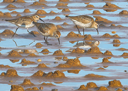 Dunlin and wormcasts