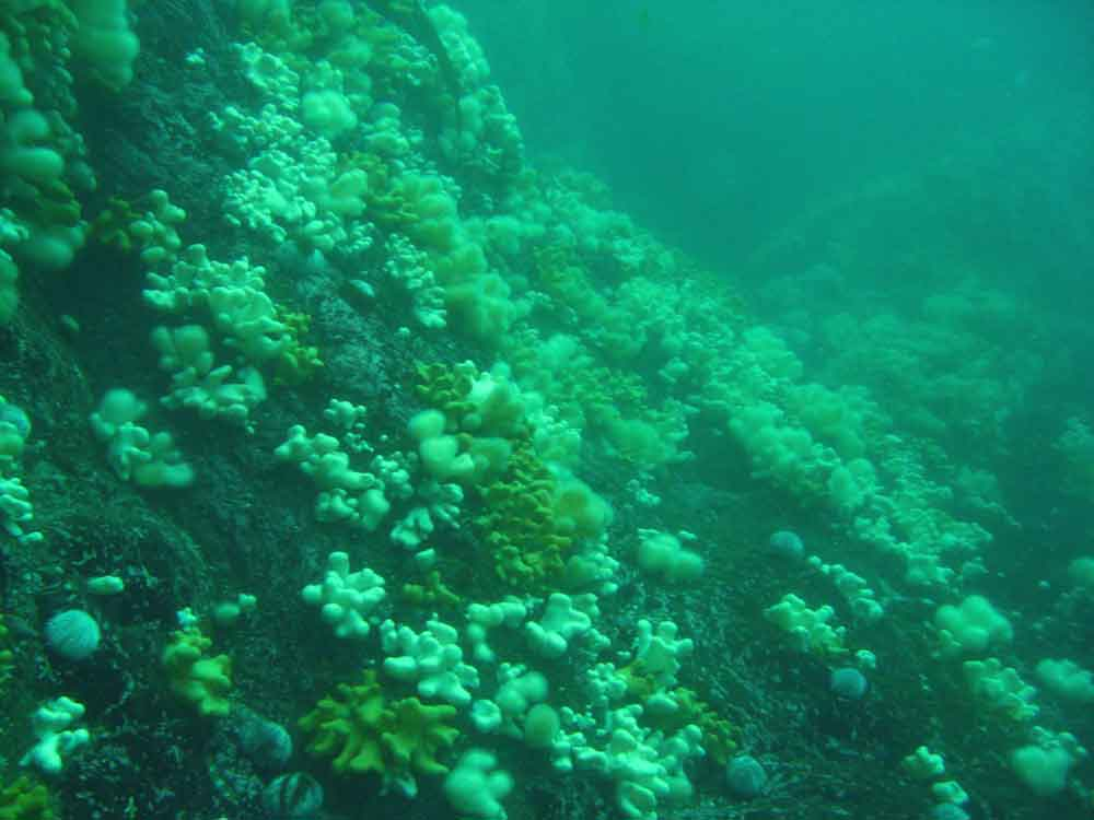 soft-corals