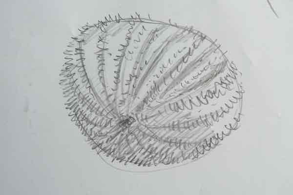 Sea-urchin-sketch
