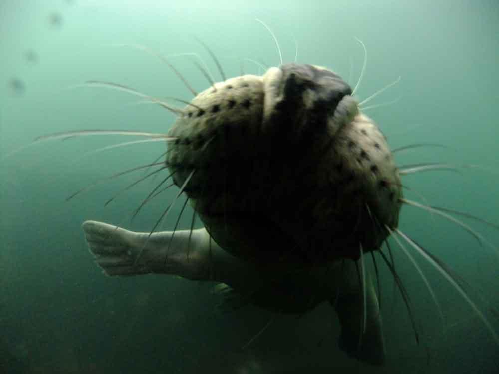 Seal-muzzle
