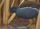 Moorhen and bullrushes
